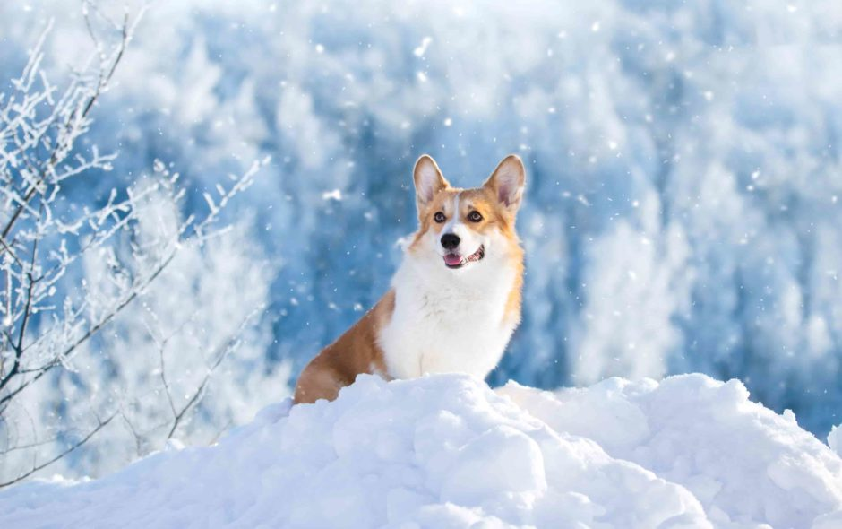 How to Protect Your Canines Paws in Winters